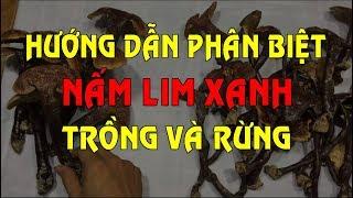 Nấm Lim Xanh - Hướng dẫn phân biệt Nấm Lim Xanh - Cách phân biệt Nấm Lim Xanh Trồng Và Rừng