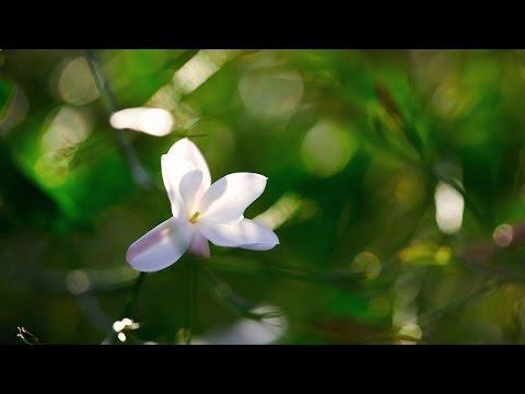 The Quest for Essences Episode 4 – Jasmine Grandiflorum in Grasse