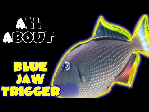 All About The Blue Jaw Triggerfish Or Blue Throat Triggerfish