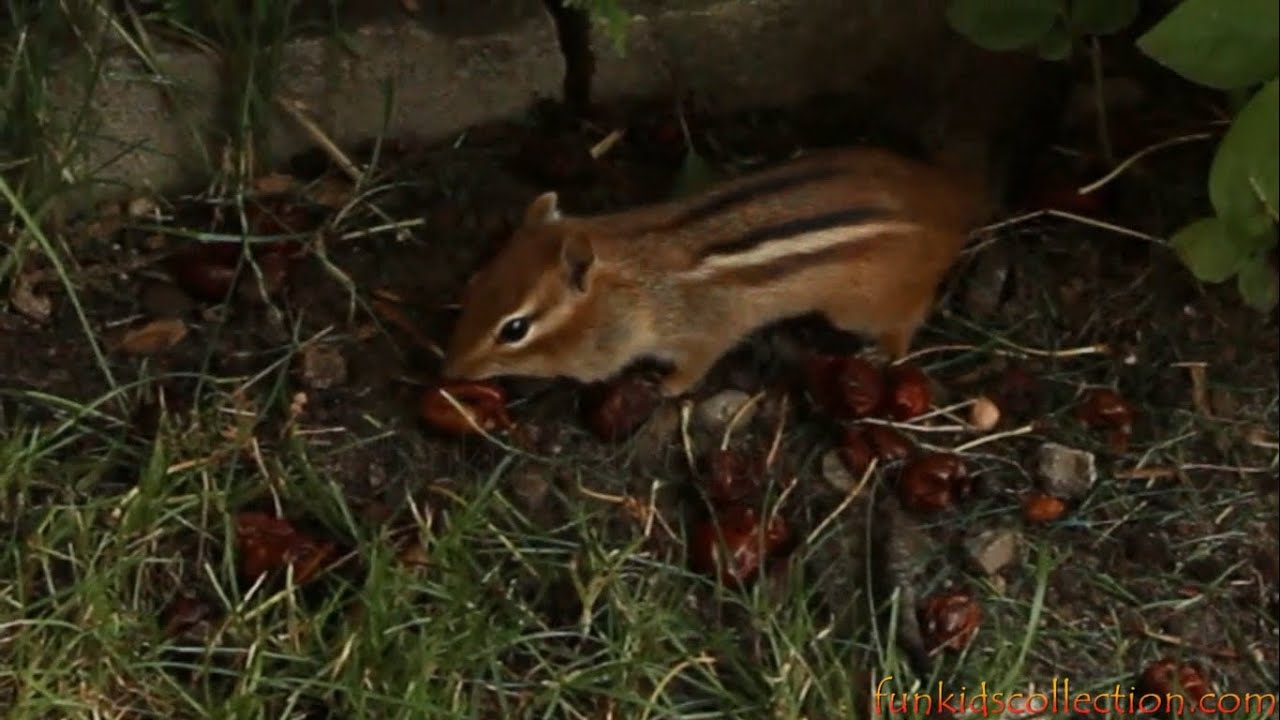 chipmunk eating cherries in the backyard youtube