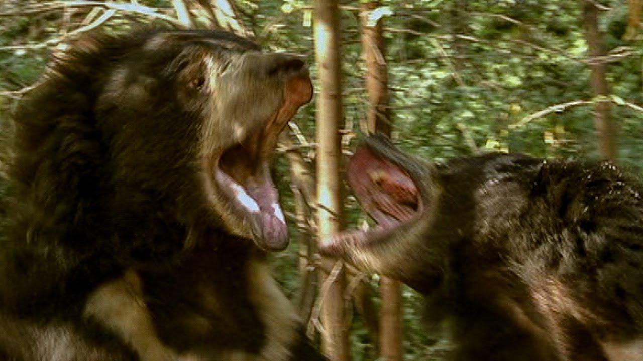 Deadly Sloth Bears Fight over Food | Deadly 60 | Earth Unplugged