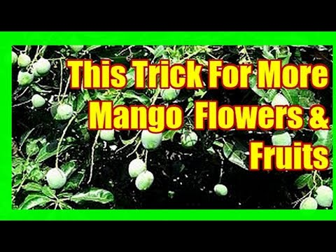 This Trick Will Force Mango Tree To Fruit