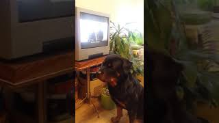 """Ротвейлер Рэйч смотрит фильм """"Ко мне, Мухтар!"""""""