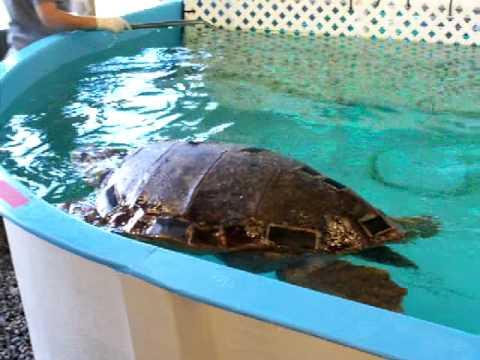 Jekyll Island Sea Turtle Hospital - YouTube