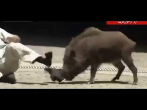 Wild Boar Attacks Japanese TV Crew