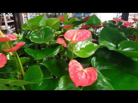 Best care for the Anthurium Plant | Donna Joshi