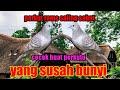 Perkutut Lokal Rame Saling Sahut  Mp3 - Mp4 Download