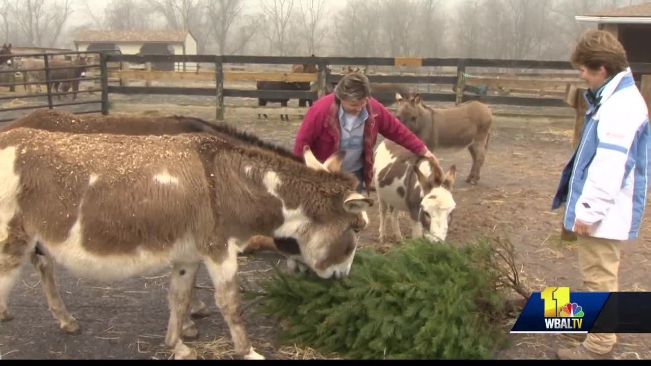 Don't throw it out: Feed rescued miniature donkeys with your Christmas tree