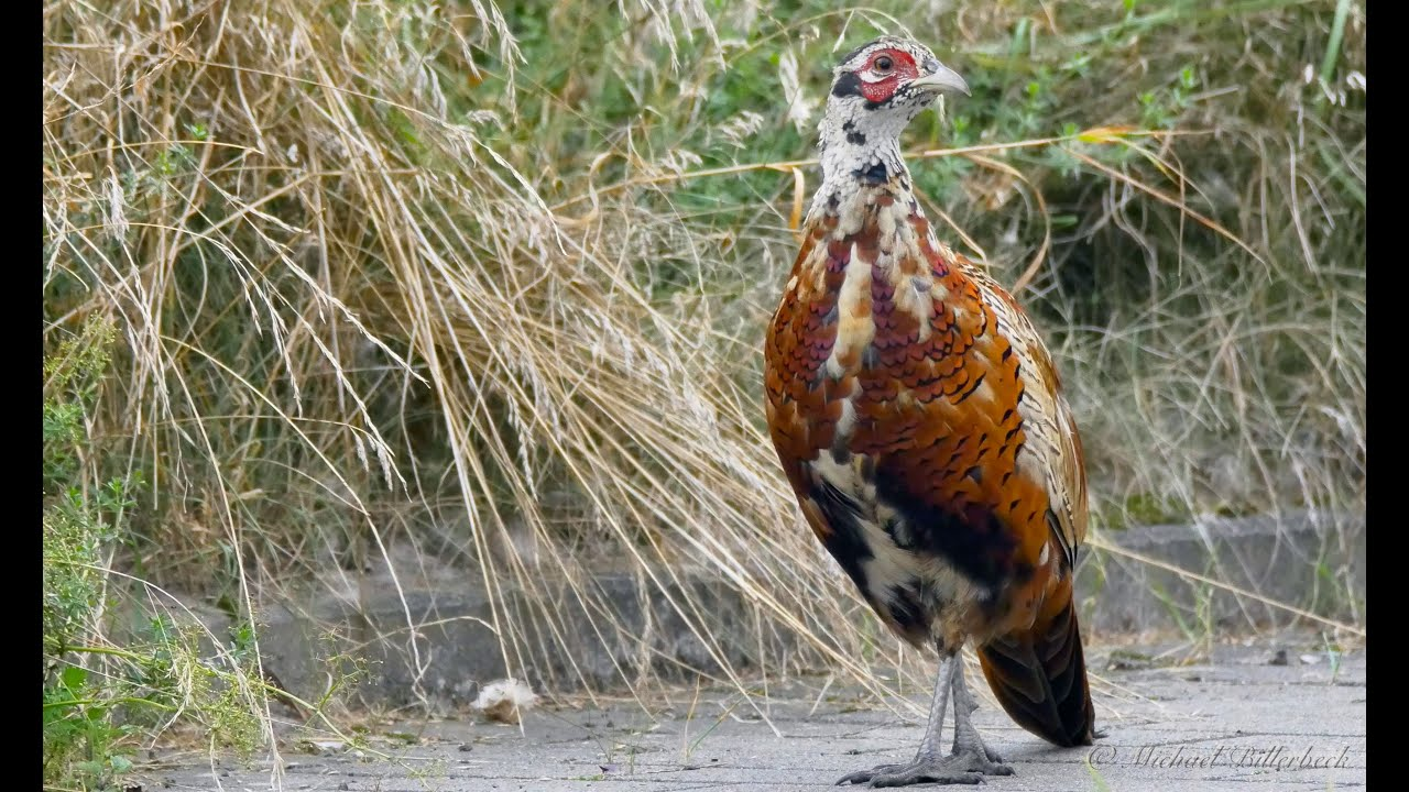 common pheasant phasianus colchicus in moult fasan in der