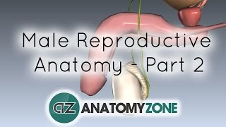 Introduction to Male Reproductive Anatomy - Part 2 - Vas Deferens and Accessory Glands