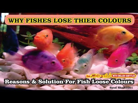 Why Fish Loss Color?How To Get  Your Fishes To Colour Up Fast