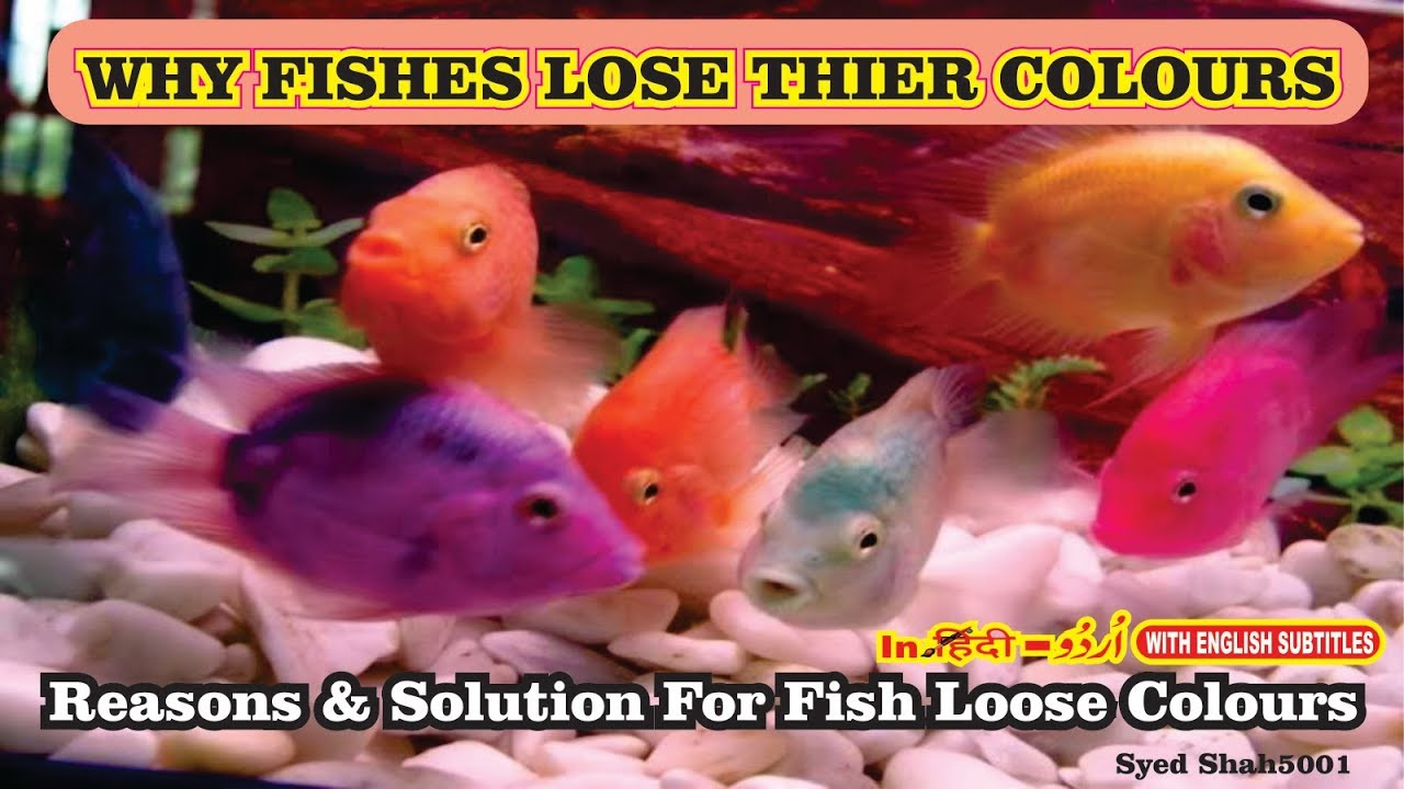 Why Are Fish Losing Color?How to get your Fishes to colour up fast ...