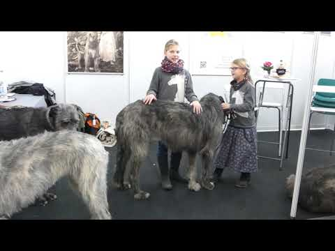 Nathan auf der Rassepräsentaion Messe Dog Live Irish Wolfhound