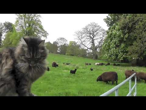The Cat Shepherd over seeing his sheep moving fields