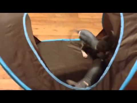 Beautiful black-and-white Sphynx kitten playing
