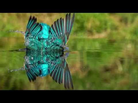 Kingfisher Fishing