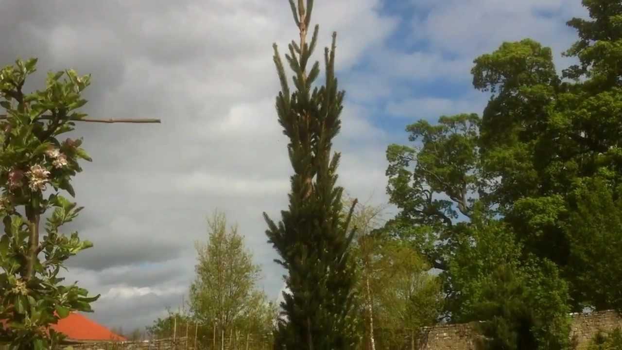 Picea Abies Fastigiatamov Youtube