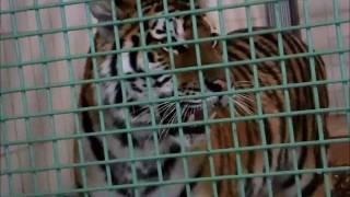 閉園時間間近の「茶臼山動物園」のワンシーンです。 彼らは、アムールト...