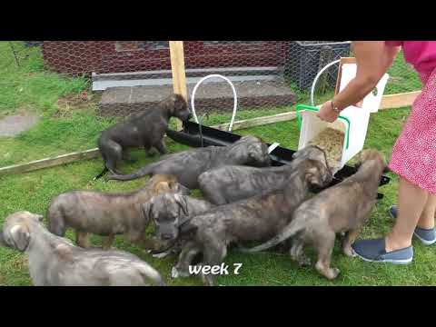 Irish Wolfhound Shelby has 9 pups