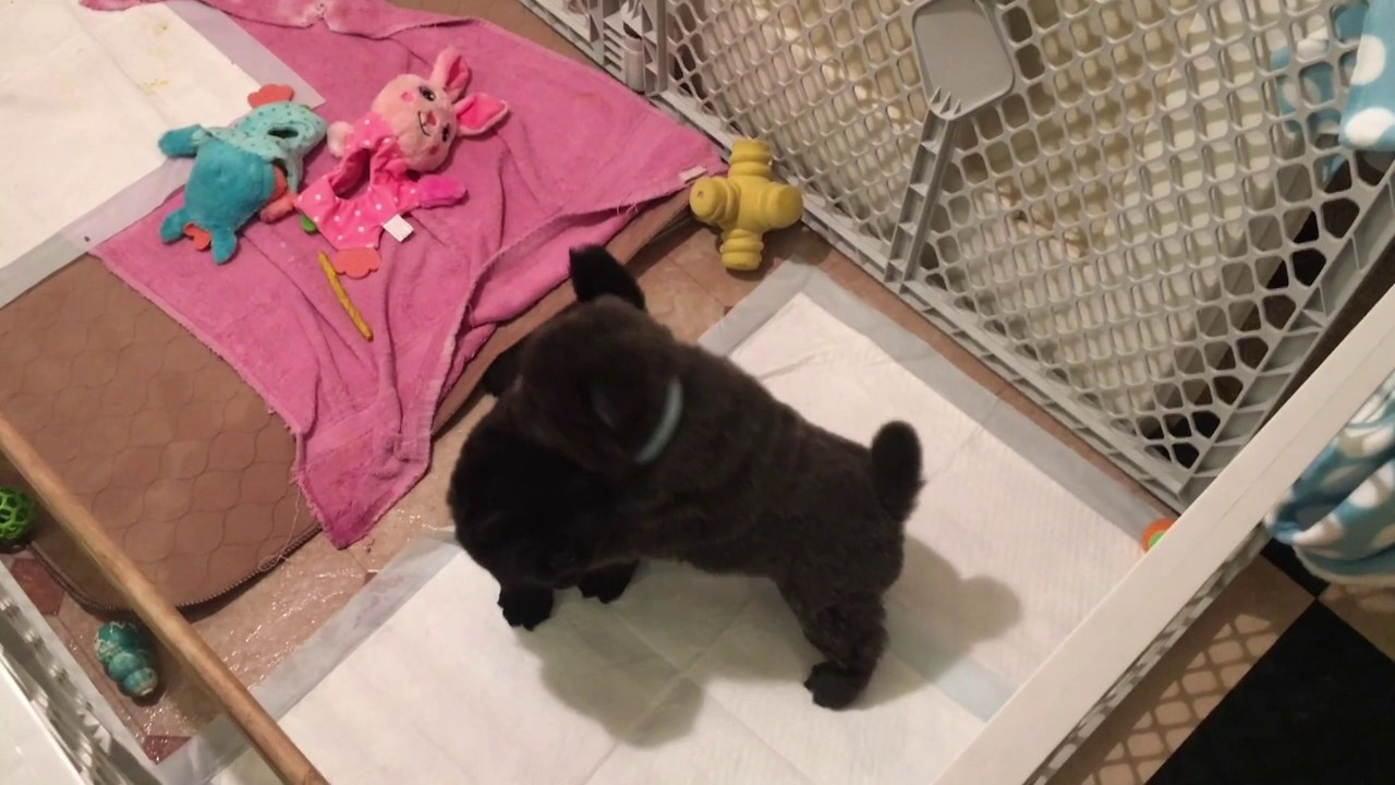 Chow chow puppies 1 day old to 8 weeks - YouTube