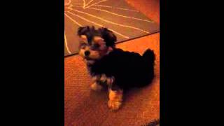 Yorkshire Terrier Cross Bichon Frise Puppy Going Crazy