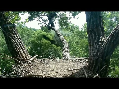 Decorah Eagle Cam ~ Eaglet D30  Accidentally Falls From Skywalk  6.16.18