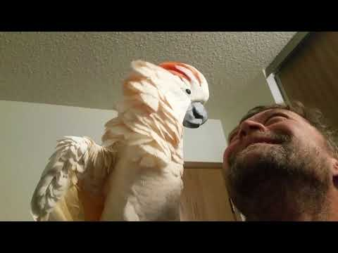 Cockatoo epic freakout warning fowl language