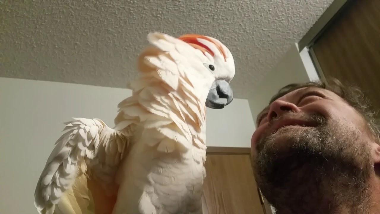 Cockatoo epic freakout (warning fowl language)