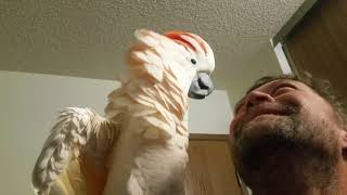 Cockatoo epic freakout (warning fowl language)