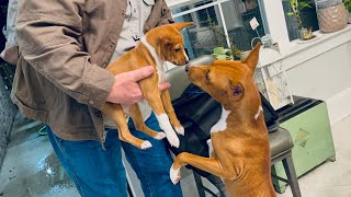Dabi Meets Prisca, the Basenji Puppy (Including Slideshow of Best Moments)