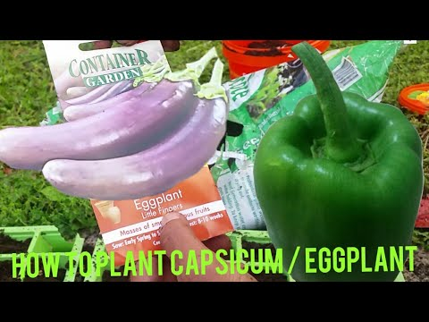 How to Plant Eggplant and Capsicum