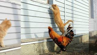 Siberian Farm cats and Pavlovskiy Rooster История фотки Рыжик и петушок  2011 Кот и петух