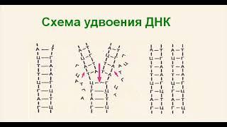 Биология. Часть 2. ДНК, РНК, и-РНК, т- РНК