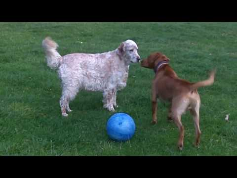 Bernie Labrador  meets Otis English Setter.