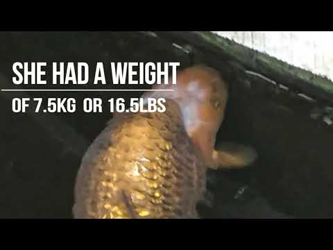 THE OLDEST CARP IN THE WORLD   KOI HANAKO   HISTORY Of A 226 Year Old Fish