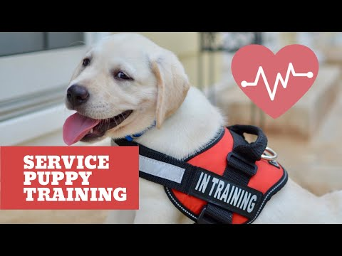 Service Puppy's First Week of Training