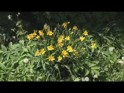 Цветок аквилегия – посадка и уход, фото аквилегии