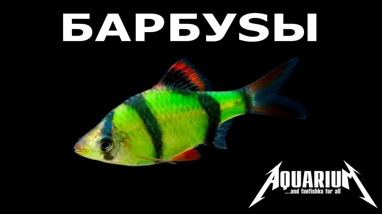 Барбусы содержание барбосоFF в аквариуме!