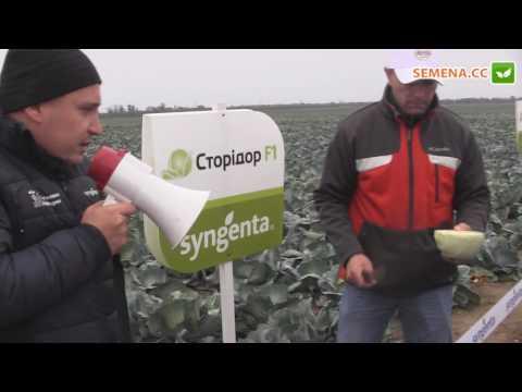 Сторидор F1 капуста (Syngenta) День поля