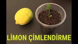 Limon Çekirdeği Çimlendirme