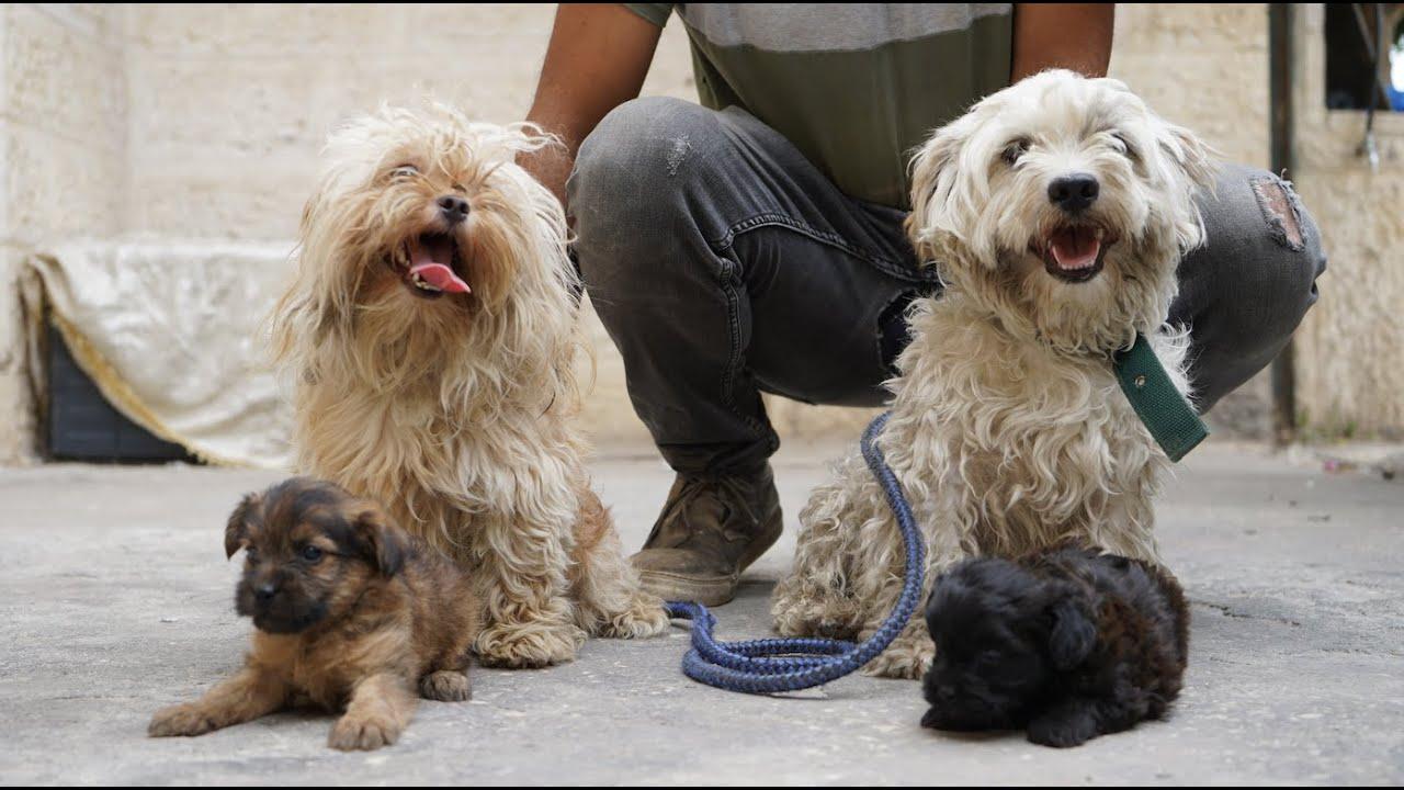 نتائج التهجين كلب اليورك شيار مع كلب المالتيز نتيجة جميلة - جمال العمواسي