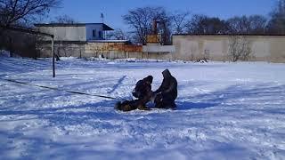 Горловская зима .эрдель Сильвана . тренинг по защите 16,02,20