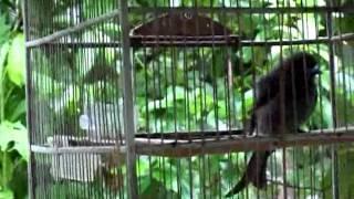 Burung Srigunting Kelabu Belajar Ngoceh