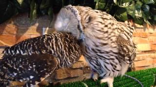 アカアシモリフクロウのあずきちゃんは、ウラルアウルのウララちゃんに...