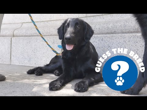 Guess the Breed - Flat-Coated Retriever