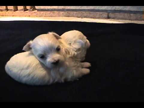 Cuccioli Cane Maltese 4 Settimane , Video Animali