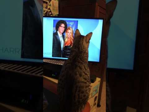 Egyptian Mau Cat watching kitten bowl on television