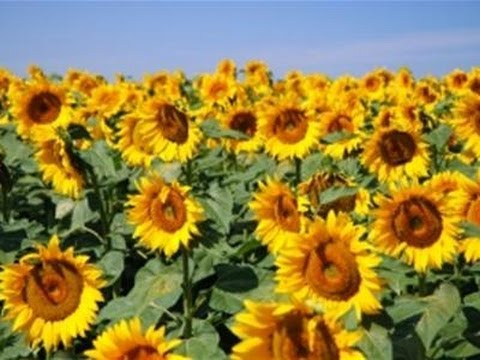 How Plant Sunflowers - Youtube