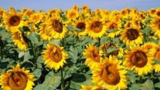How Plant Sunflowers