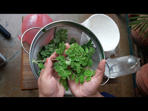 Liquid Fertilizer made of Moringa Leaves  ||Uses and Benefits of Moringa Leaves||11/5/17